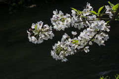 Plum Blossom Royalty Free Stock Photo