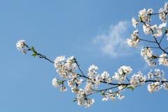 Plum Blossom. Close up of a plum blossom flower Stock Photo