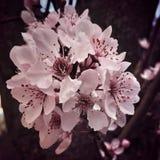 Plum Blossom Cluster Stock Foto's