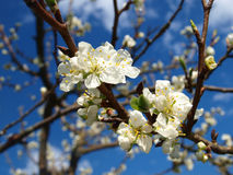 Plum blossom. Color flower on a nature Royalty Free Stock Images