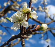 Plum blossom. Color flower on a nature Stock Photography