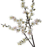 Plum blossom flower Royalty Free Stock Photo