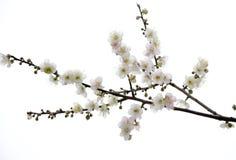 Plum blossom flower. Isolated on white stock photo