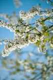 Plum blossom flowers against a blue sky royalty free stock images