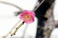 Plum blossom. Plum flowers bloom around February every year in Japan Stock Image