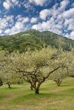 Plum blossom garden Stock Photography