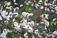 Plum blossom. Growth in khun sathan national park, nan, thailand royalty free stock image