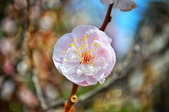 Plum blossom in japan stock photography