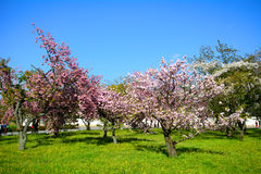 Plum blossom, Kyoto, Japan Stock Images