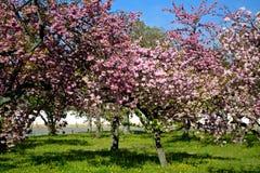 Plum blossom, Kyoto, Japan Royalty Free Stock Photo