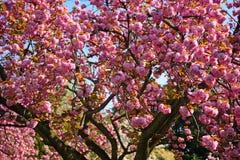 Plum blossom, Kyoto, Japan Royalty Free Stock Photography