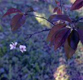 Plum blossom and leaves Stock Images