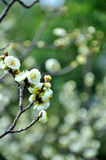 The plum blossom Stock Photos