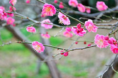 The plum blossom Royalty Free Stock Photos