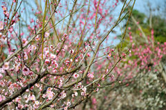 The plum blossom Royalty Free Stock Photography