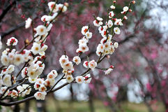 The plum blossom Royalty Free Stock Image