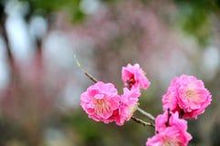 The plum blossom Stock Image