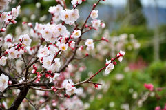The plum blossom Stock Images