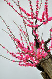 The plum blossom Stock Image