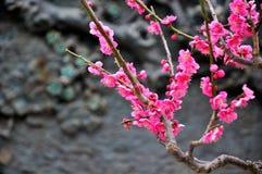 The plum blossom Stock Photo
