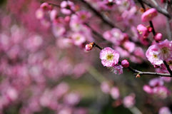 The plum blossom Royalty Free Stock Images