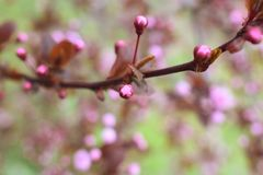Plum blossom. New pink flowers coming soon Royalty Free Stock Photography