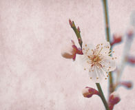 Plum blossom on old antique vintage background Stock Photos