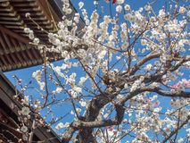 Plum Blossom. Plum is one of the earliest flowers that bloom after winter, indicating spring is approaching. Soon after Plum blossom season ends, comes the stock photo