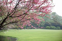 Plum blossom in park Stock Photo