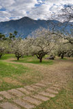 Plum blossom path Stock Photography