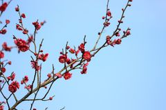Plum blossom. The pink plum blossom stock images