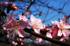 Plum Blossom, Pink, Branches, Blue Stock Images