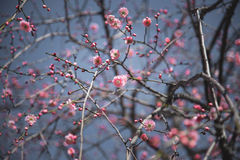 Plum blossom. The pink Plum flower blossom stock photo