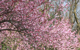 Plum blossom pink flower. Plum flower blooming in the forest.this photo is taken in spring 2013,near west lake hangzhou royalty free stock photos