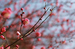 Plum blossom pink flower. Close up of pink plum blossom flowers near the west lake of Hangzhou China royalty free stock images
