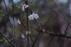 Plum blossom. The plum blossom is a winter flower with the characteristics of cold resistance. Plum blossom is native to China, and then introduced to Korea and Stock Photography