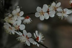 Plum blossom. The plum blossom is a winter flower with the characteristics of cold resistance. Plum blossom is native to China, and then introduced to Korea and Royalty Free Stock Image