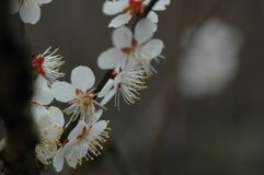 Plum blossom. The plum blossom is a winter flower with the characteristics of cold resistance. Plum blossom is native to China, and then introduced to Korea and Stock Photo