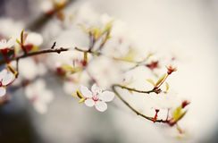 Plum blossom in soft pastel colors. Springtime. cross processed Royalty Free Stock Photos