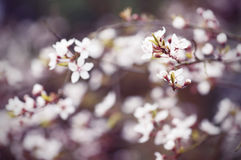 Plum blossom in soft pastel colors. Royalty Free Stock Photos