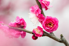 Plum blossom. Some plum blossom on a branch Stock Photography