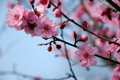 Plum blossom Stock Photography