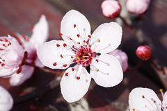 Plum blossom. In spring, in the garden Royalty Free Stock Image