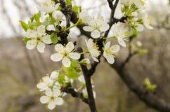 Plum blossom Royalty Free Stock Photos