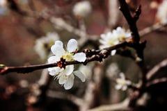 Plum blossom Royalty Free Stock Image