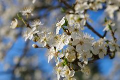 Plum blossom in spring royalty free stock images