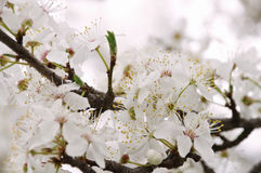 Plum blossom in spring Royalty Free Stock Image