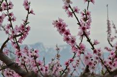 Plum blossom 3 Stock Photos