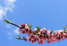Plum blossom in springtime. Pink plum blossom with blue sky background Stock Image