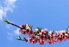 Plum blossom in springtime Stock Image